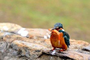 Bird Kingfisher Caught a Fish
