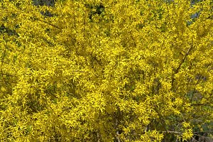 Blooming forsythia bush.