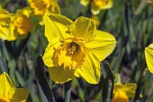 Bright yellow daffodil close-up