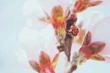 Lady Bird on Peach Blossoms by  in Nature