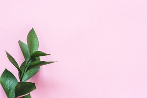 Eucalyptus branch on pink background