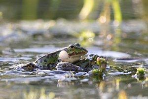 Edible frogs (Pelophylax esculentus)