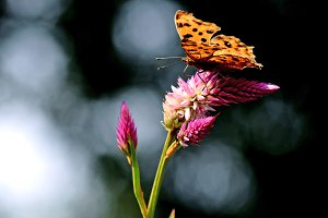 Butterfly comma on flower