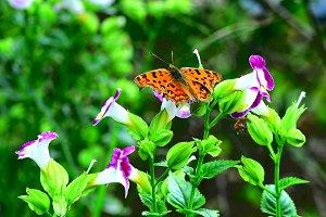 Butterfly Comma on Flowers