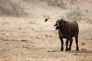 buffalo shaking off a bird