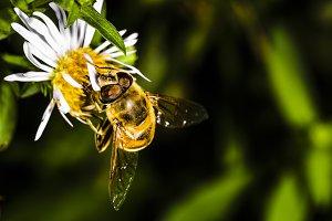 bee pollinates flower Erigeron