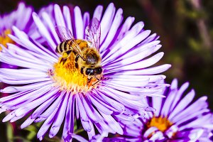 bee pollinates Pyrethrum