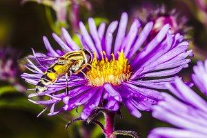 a wasp pollinates Pyrethrum