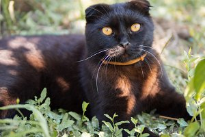Portrait of a beautiful black Scotti