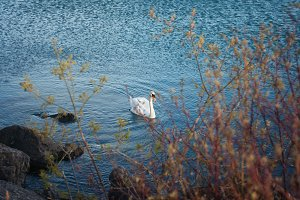 White swan in the water on the lake