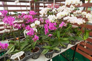 Orchids in pots