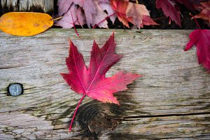 Fall or autumn red maple leaf