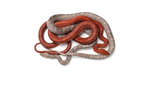 Corn snake isolated on white