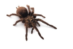 Giant Birdeating Spider isolated