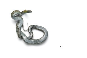 The Japanese rat snake isolated