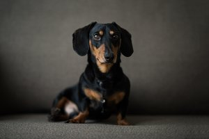 Dachshund, pure bred miniature dog