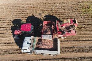 Harvesting potatoes in field