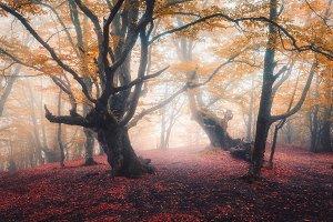 Autumn fairy forest in fog