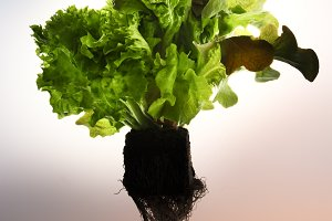 bush lettuce salad with roots and so