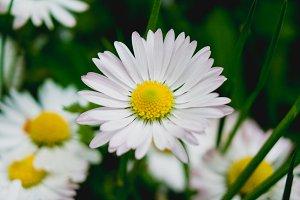 Daisy Flower #5