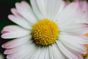 Daisy Flower #9