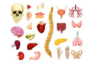 Human organs, joints and bones