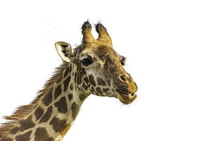 Head of female Giraffe. Isolated.