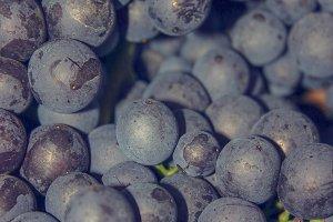 Barolo grapes