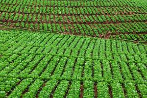 Hillside vegetable plantation