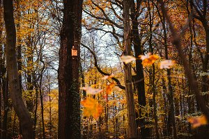 Fall, golden autumn forest with