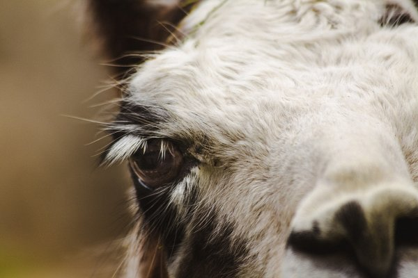 Animal Stock Photos: Sunshine Inspired Designs - Alpaca #1 - Farm Animals