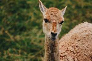 Alpaca #2 - Farm Animals
