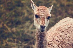 Alpaca #3  - Farm Animals - Vintage