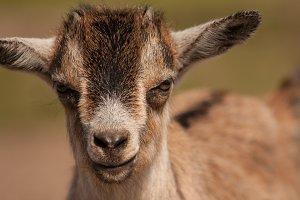 Goat #1 - Farm Animals