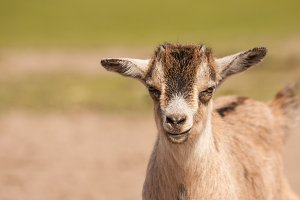 Goat #2 - Farm Animals