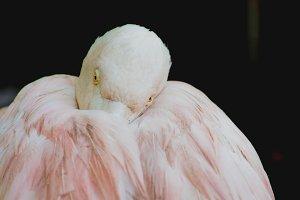 Flamingo #1 - Exotic Birds