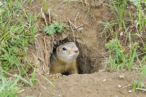 A curious ground squirrel