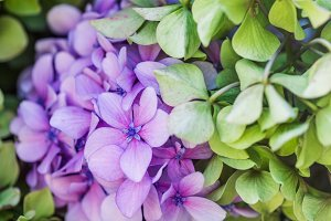 Pink and Blue Hydrangea Flowers in