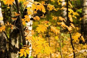 Yellow leaves of rowan tree close up