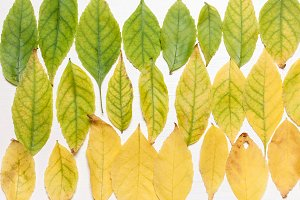 background of yellow and green leave