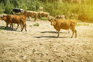 panoramic view of cows herd walk in