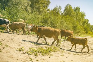 bunch of cows walking on sandy surfa