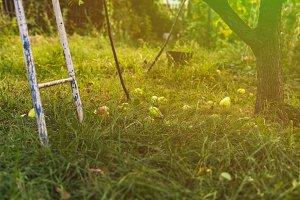 fallen pears fruit under the tree la