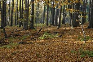 Autumn beech forest 05