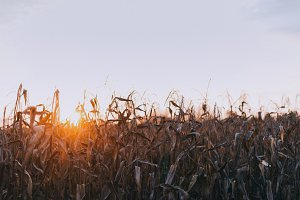 Cornfield during golden hour