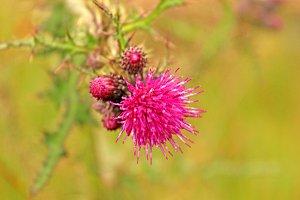 Soft Purple Thistle Flower