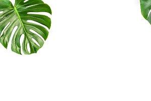 Monstera leaves isolated white backg