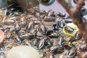 A lot of Lucihormetica cockroach