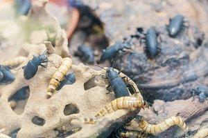 Larva and beetle Tenebrio molitor