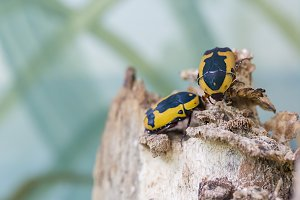 Black and yellow scarab beetle